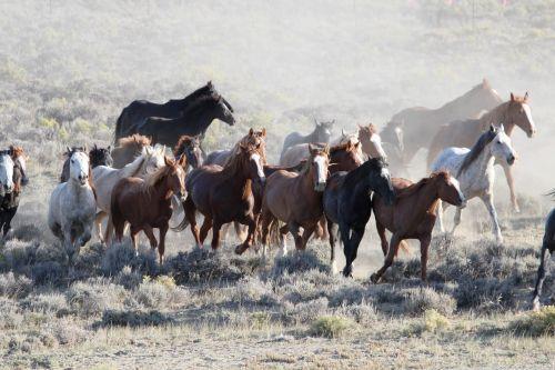 arkliai, laukiniai, bandas, laukiniai, dykuma, gamta, bėgimas, viešasis & nbsp, domenas, blm, Vajomingas, fonas, tapetai, diapazonas, Laukiniai arkliai