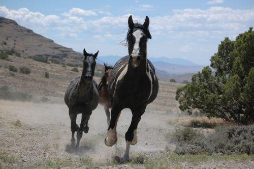 arkliai, laukiniai, laukiniai, bėgimas, panorama, kraštovaizdis, viešasis & nbsp, domenas, tapetai, fonas, diapazonas, bandas, laukinė gamta, gyvūnai, laukiniai žirgai veikia
