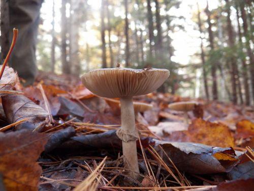 grybai, grybai, kumpis, smilkalniai, grybelis, giliai ir grybai, gamta, lauke, augalai, miškas, miškai, laukiniai grybai