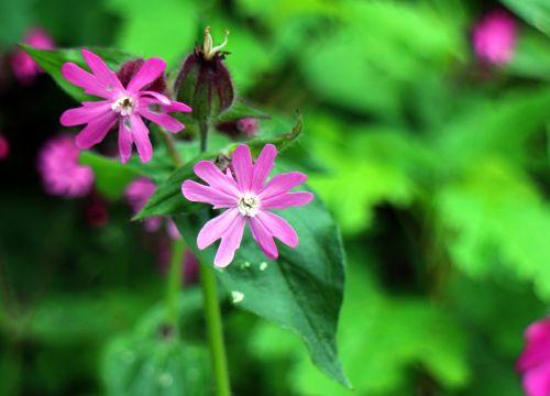 laukinis augalas,gvazdikų šeima,raudona kampanija,stovykla,gėlė,augalas,žiedas,žydėti,violetinė,rožinis,violetinė,raudona laimikis,raudonasis melandriumas,raudona waldnelke,dienos raudona kampanija,Viešpaties dievo kraujas