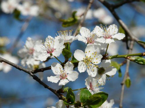 laukinė slyva,žiedas,žydėti,medis,filialas,american wildpflaume,prunus americana,pririų slyva,gamta,balta,gražus,pavasaris