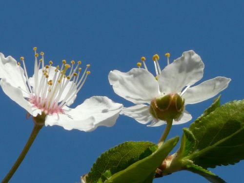 laukinė slyva,žiedas,žydėti,Uždaryti,makro,american wildpflaume,prunus americana,pririų slyva,gamta,balta,gražus,pavasaris