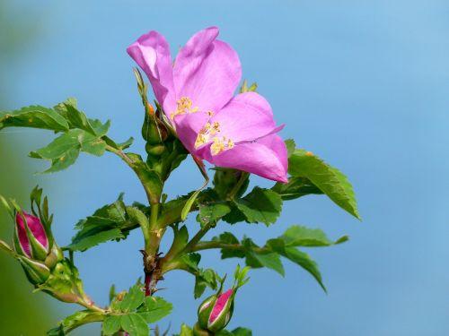 Laukinė rožė,laukiniai,augalas,gamta,Iš arti,gėlė,makro,gražus,flora,vietinė flora,pavasaris