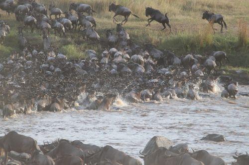 migruojantis nuo vabzdžių,puiki migracija,wildebeest,migracija,kenya,afrika,serengeti,safari,Tanzanija,upė,perėjimas,laukinė gamta,gamta,gyvūnas,bandas,žinduolis,Savanna