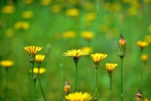 Polne, įmonių pieva gėlės, meadow, vasara, laukinių gėlių, geltona gėlė, laukinių augalų, geltonos laukinių gėlių