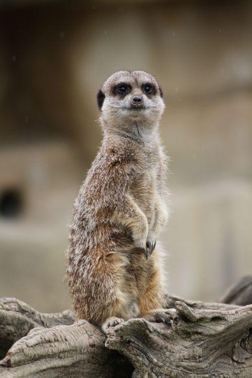 laukinė gamta, meerkat, žinduolis, gamta, Mangoze, kailis, saugokis, gyvūnas, be honoraro mokesčio