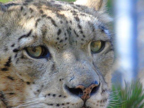 Gyvūnijos, katė, žinduolis, gyvūnas, pobūdį, mėsėdis, Predator, laukinių, Hunter, pavojus, akių, sniego leopardas, leopardas, kačių, galva, veidas, natūralus, pavojinga, medžioklė