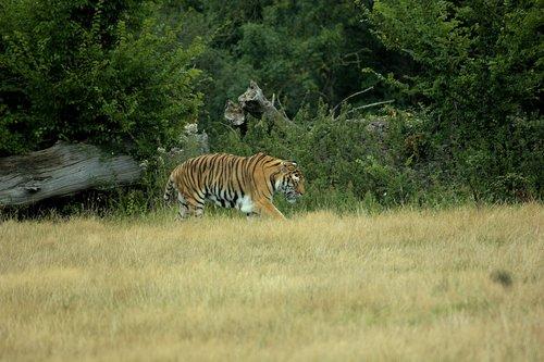 Gyvūnijos, tigras, kačių, gyvūnas, laukinis gyvūnas, Laukiniai gyvūnai, plėšrūnas