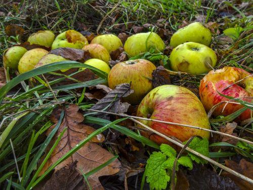 netikri obuoliai,obuoliai,ruduo,rudens lapai,obuoliai ant žemės,kritusių obuolių,vaismedžių sodas,nukritusių vaisių,derlius,blogi obuoliai,žolė