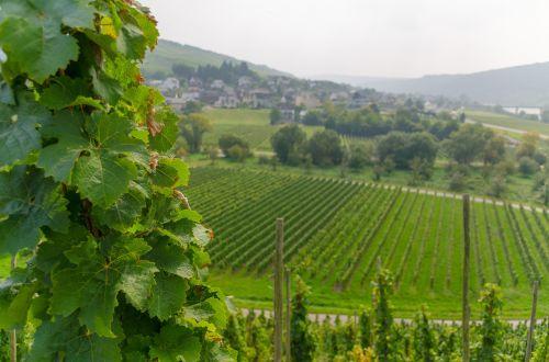 vynas,vynuogynas,vynuogynai,vynuogių auginimas,gamta,vynuogės,kraštovaizdis,auginimas
