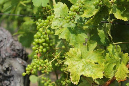 vynas,vynmedis,Vynuogė,vynuogių auginimas,vynuogynas,augalas,žalias,rebstock,vyno auginimas,auginimas,vasara,vynuogių lapai,vyno fabrikas,vynuogės