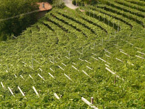 vynas,vynuogynas,vynmedis,vynuogių auginimas,augalas,auginimas,plantacija