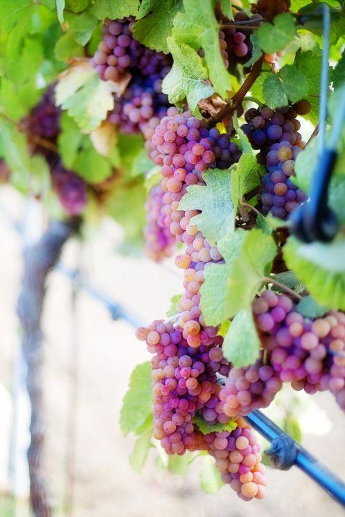 vyno vynuogės,violetinės vynuogės,vynuogės,vynmedis,vynuogynas,vynuogių,vynuogių klasteris,klasteris