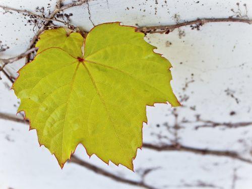 vyno lapai, žalias lapas, siena, augalas, žalias, balta, gamta, pavasaris