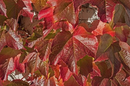 vyno partneris,laukiniai vynuogių lapai,augalas,vynuogių lapai,ivy lapai,gamta,hedera spiralė,siena,lapai,įsikabinti,alpinistas,laukinis vynas,fono paveikslėlis,ruduo,kritimo spalva,rudens spalvos,atsiras,kritimo lapija,rudens nuotaika,kritimo lapai,rudens motyvas,tikri lapai,raudona,šviesus,lapai,raudoni lapai,raudonos lapijos lapai