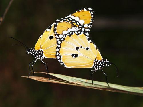 sparnas,geltona,vabzdys,skraidantis,izoliuotas,migruojantis,drugelio sparnai,Vaizdas iš viršaus,pieno vaisių drugelis,didingas,oranžinė,gamtos drakonas,vasara,laisvė,monarcho drugelis,trapumas,monarcho drugelis,šiaurės amerikiečių drugeliai,baltas fonas,atviri sparnai,gamta,izoliuota drugelis,migrantas,drugelis