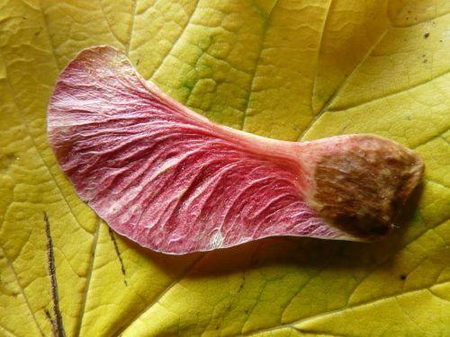 sparnuotas ahornfrucht,klevo vaisiai,vaisiai,klevas,klevo lapas,Acer,noisette