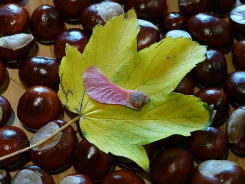 sparnuotas ahornfrucht,klevo vaisiai,vaisiai,klevas,klevo lapas,Acer,lapai,dažymas,raudona,oranžinė,raudona oranžinė,ruduo,Norvegijos klevas,acer platanoids,adatų lapų klevas,kaštonas,paleisti