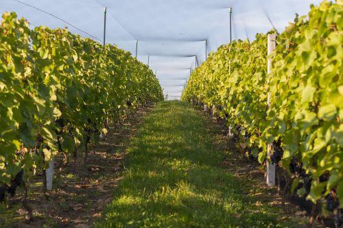 vynuogynas, vynuogės, vynas, auginimas, apsauga, tinklelis, grupė, vynuogynas
