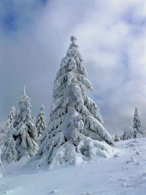 žiema,žiemos pasaka,žiemos svajonė,žiemos laikas,medis,ledas,šaltis,derva,šaltas,kraštovaizdis,gamta,sniegas,saulė,miškas,balta