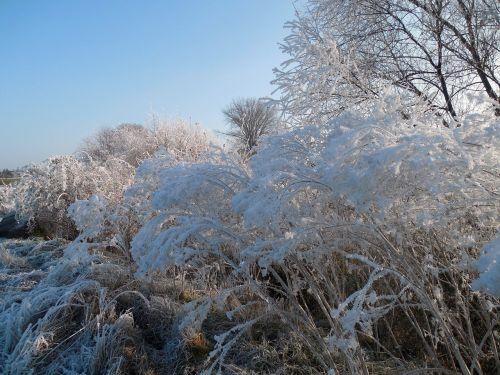 žiema,žiemą,gruodžio mėn .,žieminiai krūmai,šaltis,šaltas,krūmai,krūmai,auskaras,ledas,sušaldyta