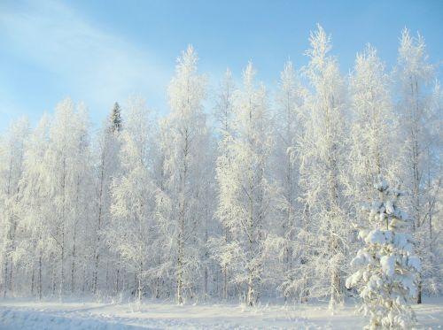 žiema,miškas,sniegas,žiemos kelias,pušis,medžiai,gamta,kraštovaizdis,šaltis,žiemos miškas,žiemos peizažas,medis,bobutė,švarus dangus,žiemos diena,gražus,mėlynas dangus,minusas,kaimas,šaltas,žiemos sodas,saulė,kelias,žiemos saulė,kelio sniegas,miško kelias,gyvoji gamta,Kalėdų eglutė,Eglė,medžių kamienus,varveklių,snaigės,snaigė,finland,spygliuočių,parkas,leann,spygliuočių medis,adatos,fonas,žiemos fone,balta,mėlynas
