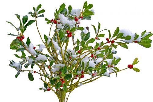 žiema,sniegas,augalas,gamta,krūmas,filialai,raudona,uogos,periwinkle,dekoratyvinis,vaisiai,visžalis krūmas,dekoratyvinis krūmas