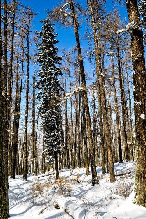 žiema,medis,sniegas,gamta,šaltas,kalnas,sušaldyta,padengtas,pušis,dangus,miškas