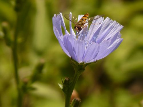 žiemos florea,vabzdys,Hoverfly,paprastoji trūkažolė,cikorija,gėlė,žiedas,žydėti,šviesiai mėlynas,violetinė,paprastoji cikorija,cichorium intybus,kompozitai,asteraceae,kelias,žydintis augalas,botanika,flora,syrphidae,nuolatinis skristi,schwirrfliege,skristi,diptera,brachycera,episyrphus balteatus