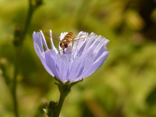 žiemos florea,skristi,Hoverfly,paprastoji trūkažolė,cikorija,gėlė,žiedas,žydėti,šviesiai mėlynas,violetinė,paprastoji cikorija,cichorium intybus,kompozitai,asteraceae,kelias,žydintis augalas,botanika,flora,syrphidae,nuolatinis skristi,schwirrfliege,diptera,brachycera,episyrphus balteatus,vabzdys,fauna