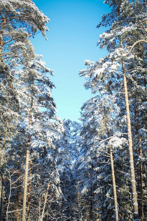 žiemos miškas,dangus,sniegas,miškas,gamta,medis,balta,šaltas,pušis,medžiai,žiemos peizažas,šaltis,žiema,šaltai,gražus,žiemos kelias,mėlynas dangus,spygliuočių medis