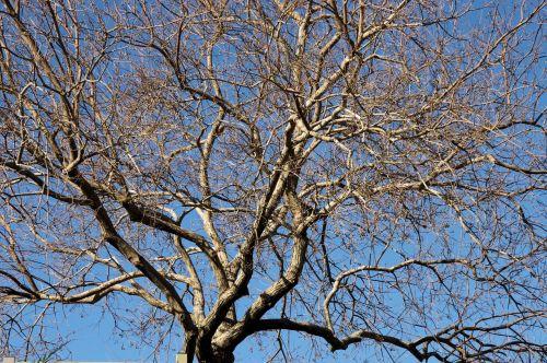 žiema, medis, miręs, filialai, mirtis, atgimimas, poilsis, žiemos miegas, tylus, inertiška, neaktyvus, pertrauka, interludas, Pauzė, žiemos medis