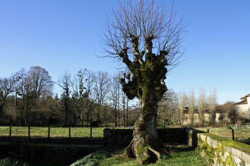žiemos medis,lapuočių medis,gnarled medis,senovės medis,negraži medis,medis,ekologiškas,Žemdirbystė,lauke,aplinka,bagažinė,lapai,filialai,gamta