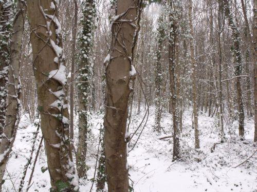 žiema, miškai, snieguotas & nbsp, scena, miškas, žiemos miškai 3