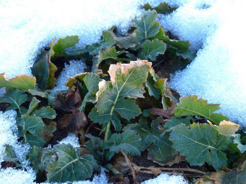 winteriskol,winterfrucht,Kohl,brassica,lapai,žiema,sniegas,šaltas,žemė,brassicaceae,pasėlių,pašariniai augalai,daržovių sklypai,žolė,žolelių auginimas,ariamasis,daržovių sritis,daržovių pleistras,balti kopūstai,koprabi,daržovės,vaisiai,kopūstų auginimas,daržovių sodas,daržovių auginimas,maistas,Žemdirbystė