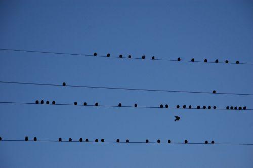 viela,paukščiai,migracija,pertvara