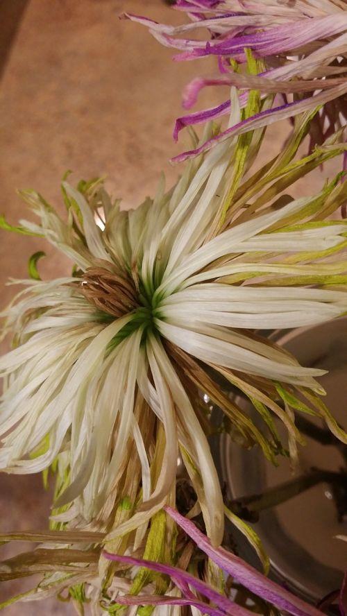 nudrus,gėlė,balta,nudrus,augalas,gėlių,senas,natūralus,Alyva