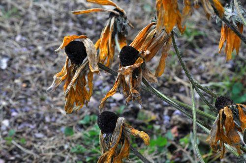 saulėgrąžos, saulėgrąžos, gėlė, gėlės, gėlių, nudrus, kritimas, žiema, mirti, nurimo, nudžiūvusios saulėgrąžos