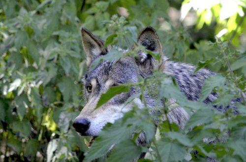vilkas,pasislėpęs,slėpti,paketas,vilkų paketas,miškas,canis lupus,plėšrūnas,šunys