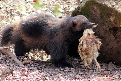 Wolverine,gyvūnas,zoologijos sodas,turėti,žinduolis,gamta,žvėrys,zoologijos sodas chomutov,grobis,ruda,vištiena,gaudyti