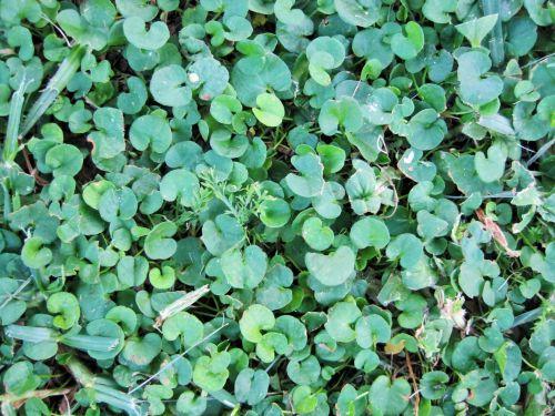 stebuklas & nbsp, veja, padengti, žalias, lapai, mažas, skanėsto, įdomu vejos padengti
