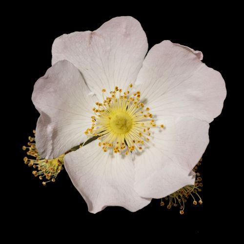 medžio anemone,Anemone nemorosa,hahnenfußgewächs,augalas,žiedas,žydėti,izoliuotas