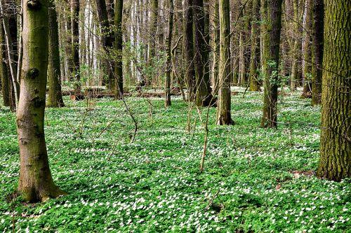 medžio anemone,kilimas,miškas,pavasaris,augalas