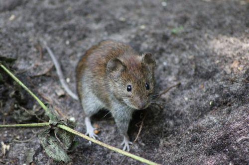 pelė, mediena, medis & nbsp, pele, uždaryti & nbsp, Uždaryti, laukiniai, miškas, pelės, medinė pele priekinė uždara dalis