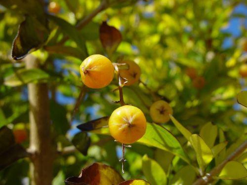 woodvale,uogos,geltona,mažai,krūmai,krūmai,augalai,flora