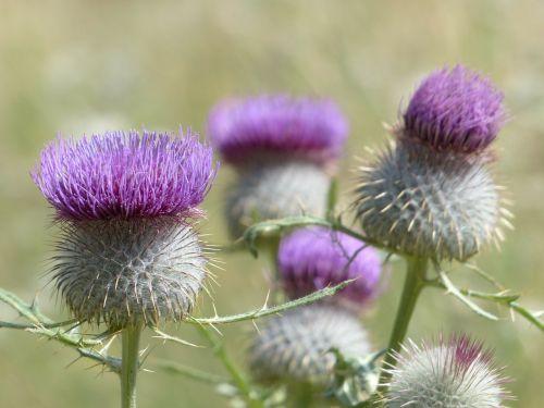 vilnos galvutės šlifuojantis drakonas,gėlė,žiedas,žydėti,violetinė,violetinė,vamzdelis corolla,vamzdinės gėlės,cirsium eriophorum,vilnos galvutė cirsium,drakonas,cirsium,kompozitai,asteraceae,akenas,hapaxanth augalas,semelpare augalas,hapaxanth,semelpar,žiedynas,puodelio formos žiedynas,krepšelio formos,tvirtas,globojamos,kaip verpimo tinklas,vilna plaukai,vilnonis,įbrėžęs,smailas,dygliuotas