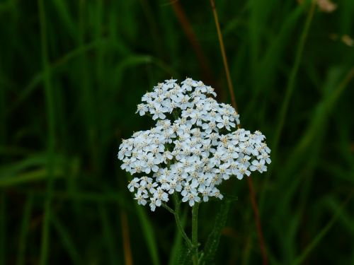 Jarrow,žiedas,žydėti,balta,gėlė,aštraus gėlė,pievų augalai,Achillea millefolium,kompozitai,asteraceae,achillea,vaistinis augalas,žiedynas