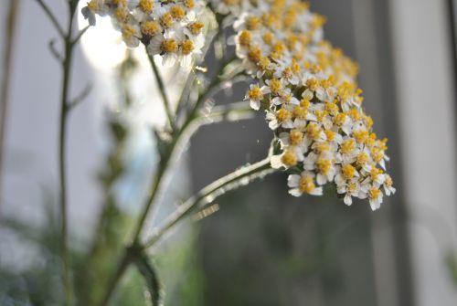 Jarrow,vaistiniai augalai,sveikas,skrandis,virškinimas,vaistinis augalas,augalas,natūropatas,vaistažolių medicina,aštraus gėlė,laukinė žolelė,laukinė gėlė,saulėtas geltonasis,vaistinis augalas,makro,laukinės žolelės,Iš arti,sodo augalas,kompozitai,žiedas,žydėti,Uždaryti,gėlė,sodas,dekoratyvinis augalas,gamta,žydėti,šviesus,budas,laukinis augalas