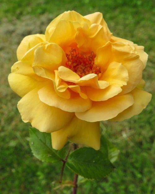 geltona,rožė,džiaugsmas,Draugystė,sodas,vasara