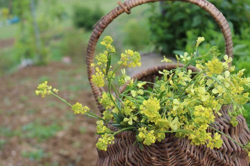 geltona,gėlė,kocaeli,Turkija